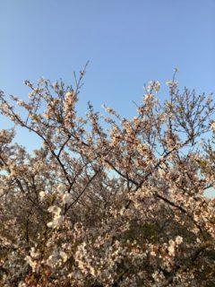 山陽小野田市でアウトドア〜お花見編&夕焼け〜
